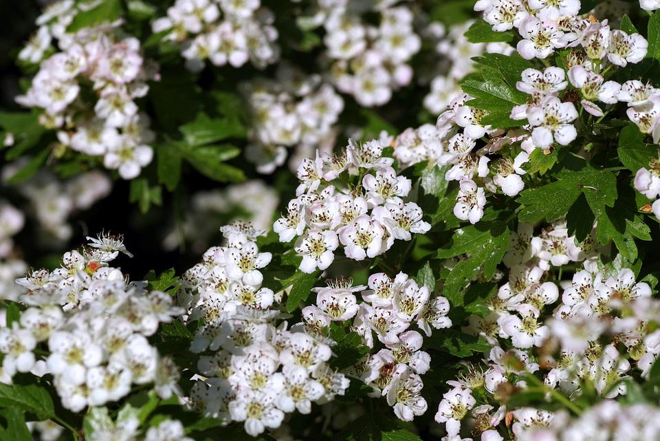 Crataegus, Flowers, Bush, Blooms, Minor, White, Cream