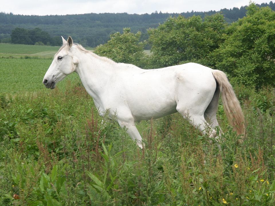 Horse, White, Mold, Pasture