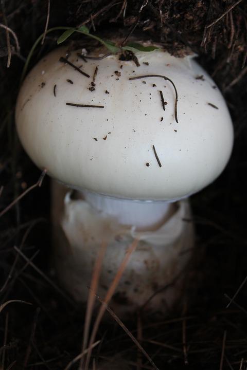 Mushroom, White, Earth, Soil, Forest, Mountain, Nature