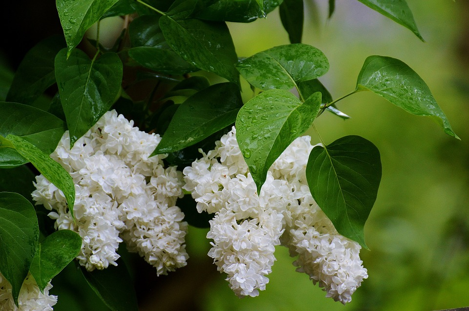 Lilac, Plant, Bush, White, White Lilac, Nature