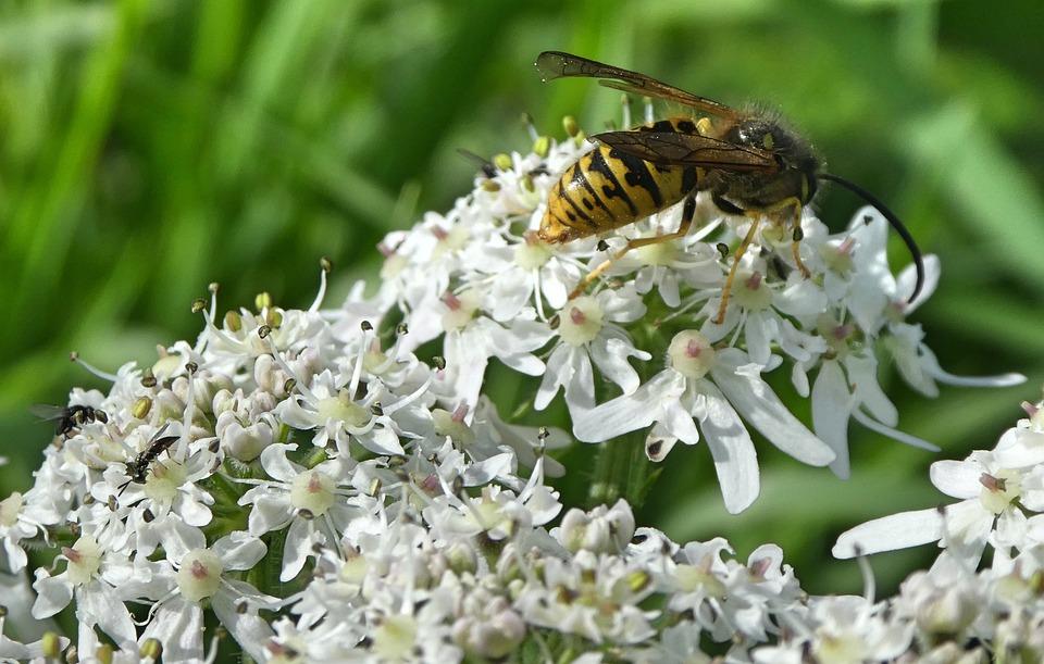 Wasp, Nature, Bug, Garden, Flower, White