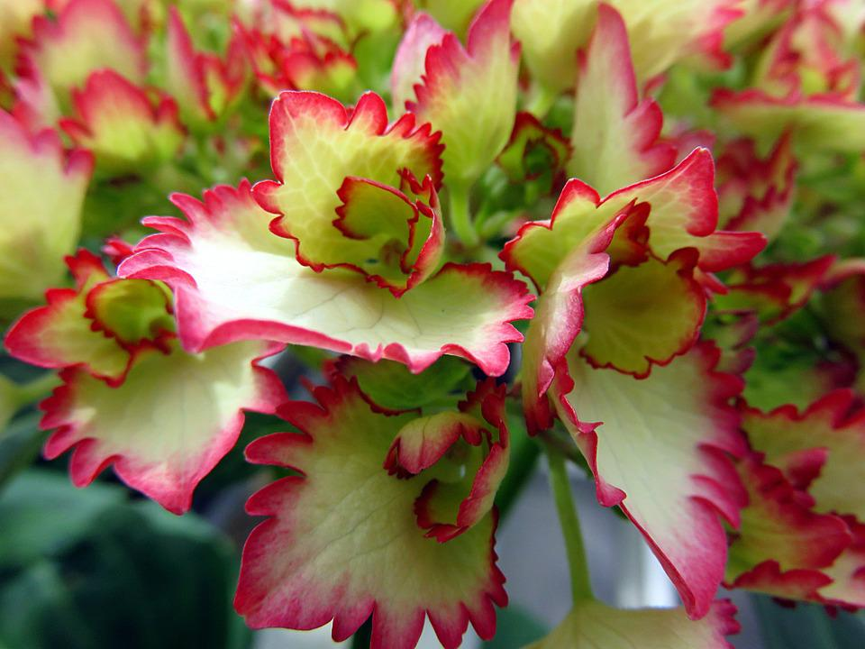 Nature, Plant, Flower, Hydrangea, Red, White