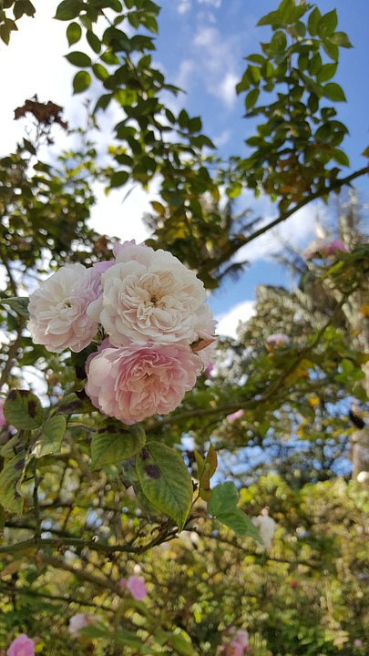 Rosa, White Rose, Flower, White, Nature, White Roses