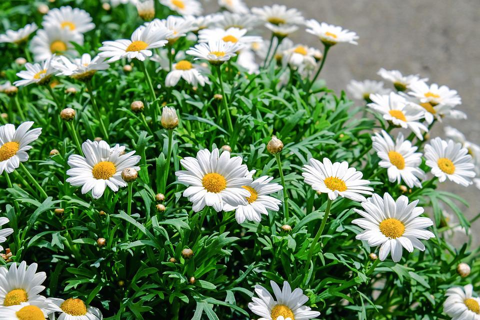 Daisies, Flowers, Bloom, White, Yellow, Plant, Nature