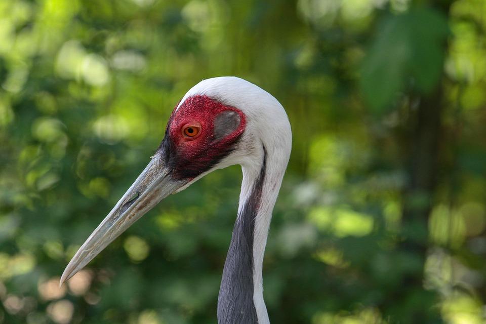 Crane, Animal World, Bird, Bill, Head, White Neck Crane