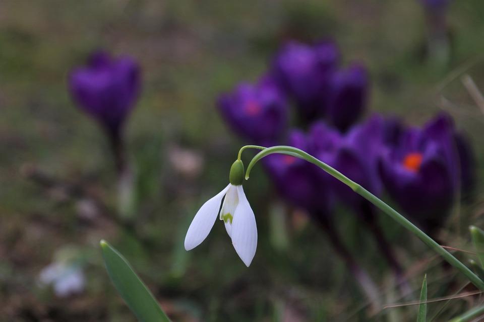 Crocus, Garden, Snowdrop, Plant, White, One, Awakening