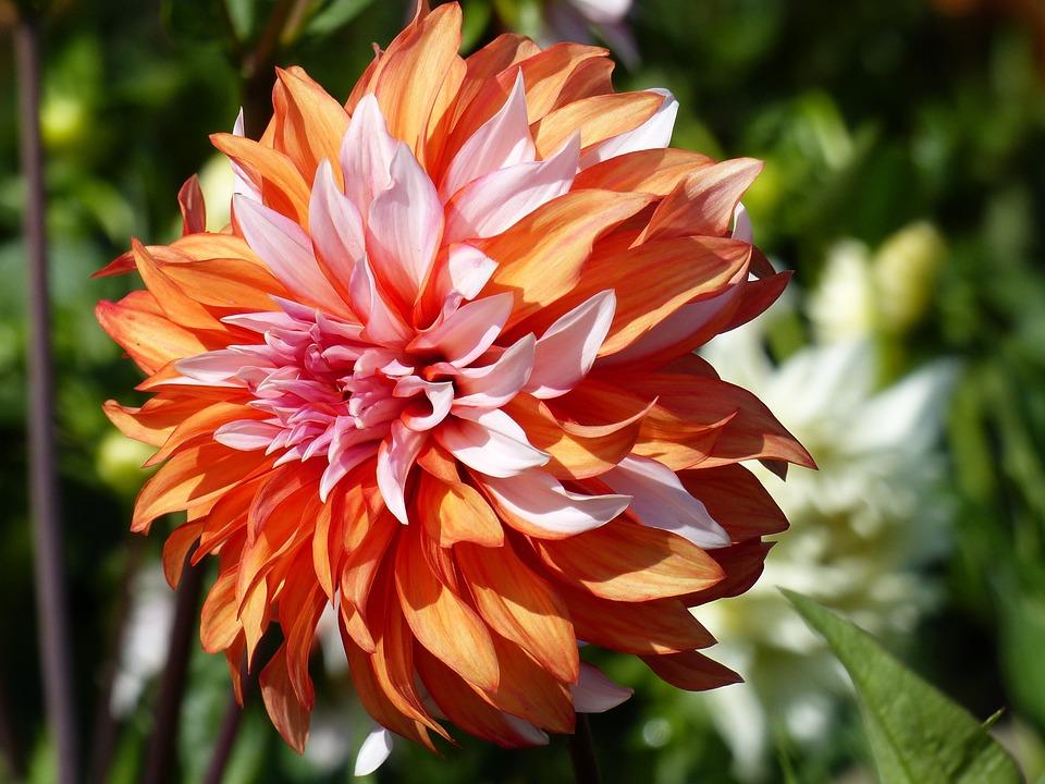 Dahlia, Orange, White, Garden, Summer, Colors, Green