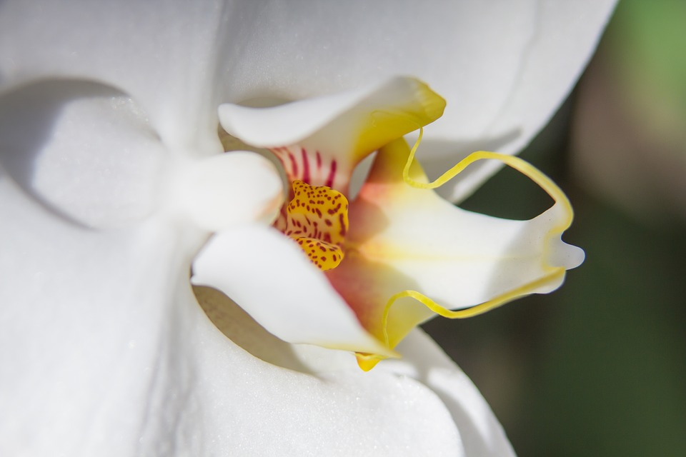 Orchid, White, Phalaenopsis, Flower, Butterfly Orchid