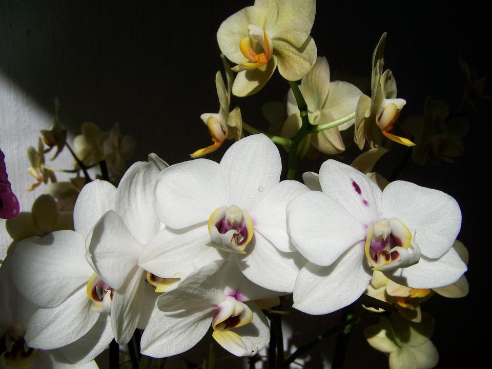 White Orchid, Yellow Orchid, Room Plant