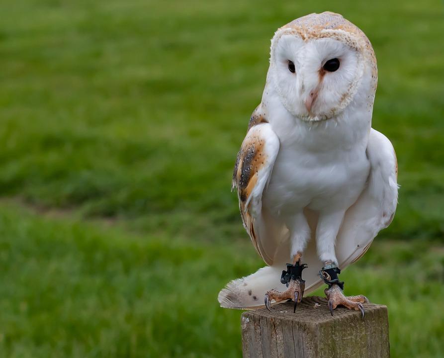 Perched Owl, European Owl, White Owl, Sitting Owl