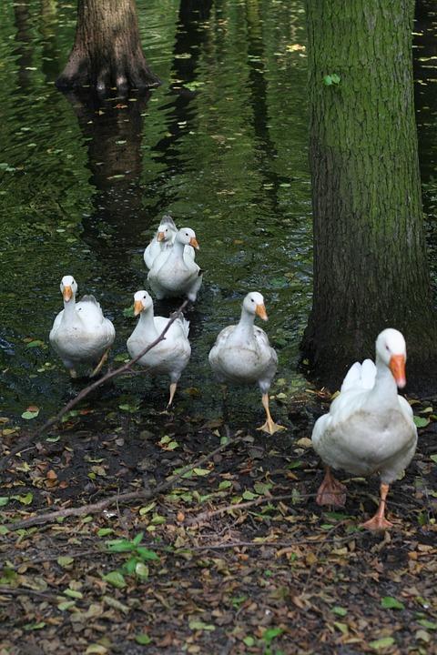 Geese, Flock, Nature, Water, Park, Lake, White, Animal