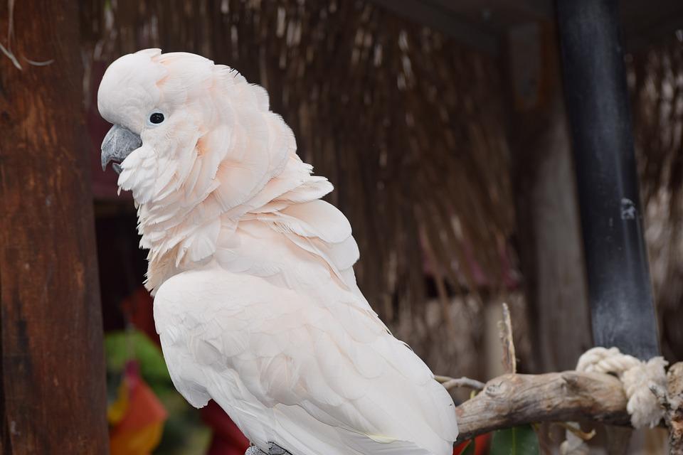 White Parrot, Bird, Cockatoo, Parrot, White, Feather
