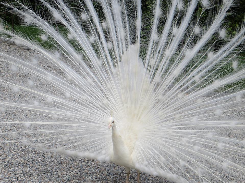 Peacock, Lago Maggiore, Isolabella, White Peacock
