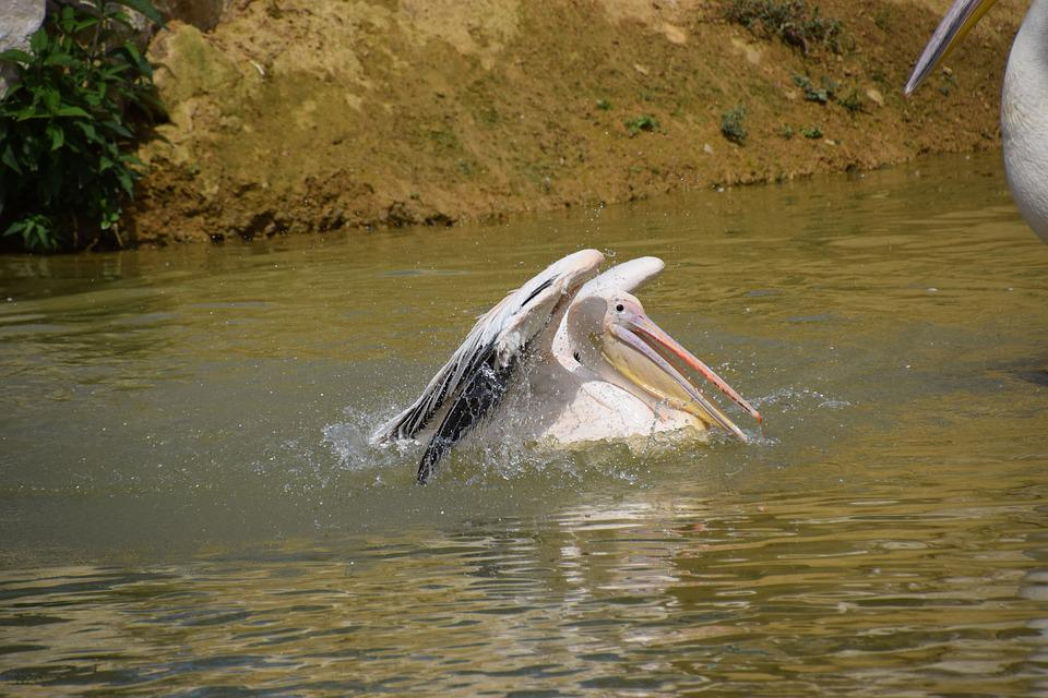 Pelican, Water, White