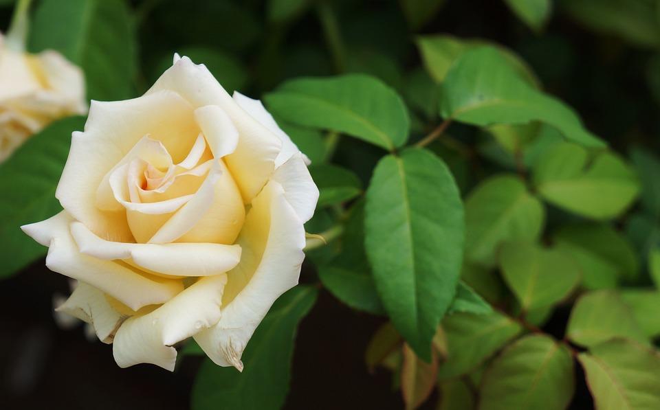 Rosa, White, Nature, Button, Flower, Plant, Perfume