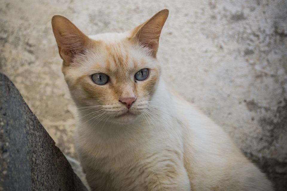 Cat, White Cat, White, Pet, Animal, Kitten, Fur, Feline