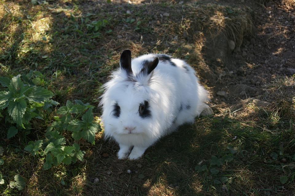 Hare, Rabbit, Pet, Cute, White
