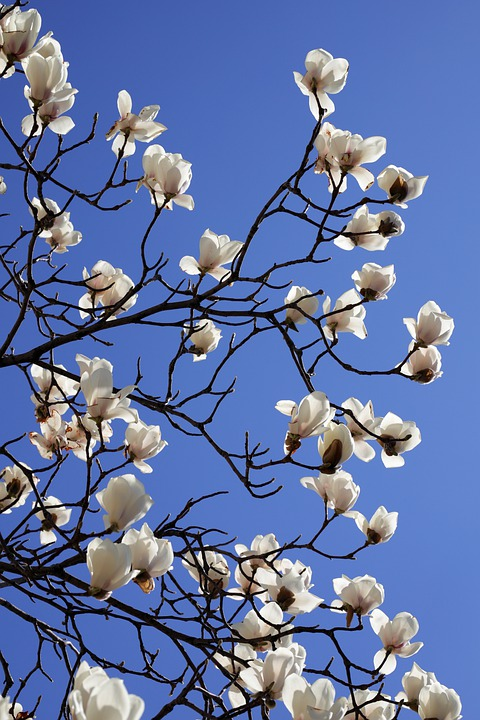 Magnolia, Spring, Flowers, Nature, Plants, White, Petal