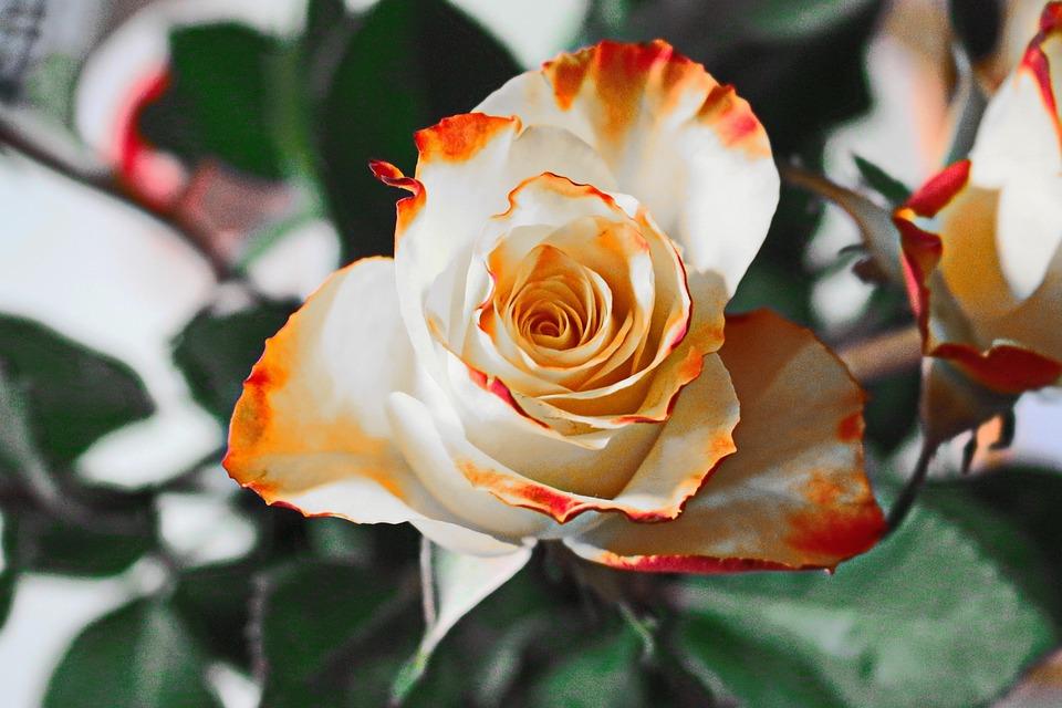 Rose, Yellow, Flower, Petals, Blossom, Bloom, White