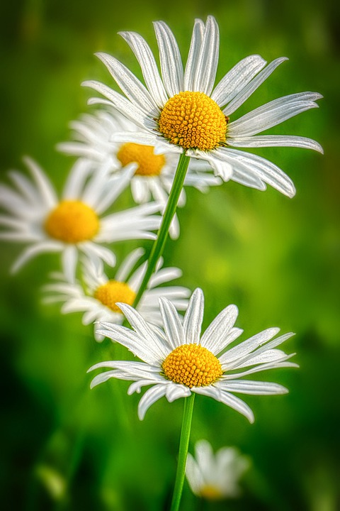 Daisies, Petals, White, Yellow, Spring, Nature, Flowers