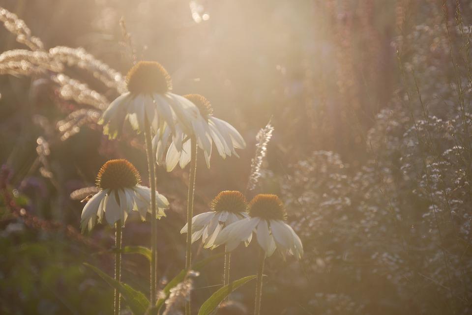 Chamomiles, Flowers, Daisies, Petals, White Petals
