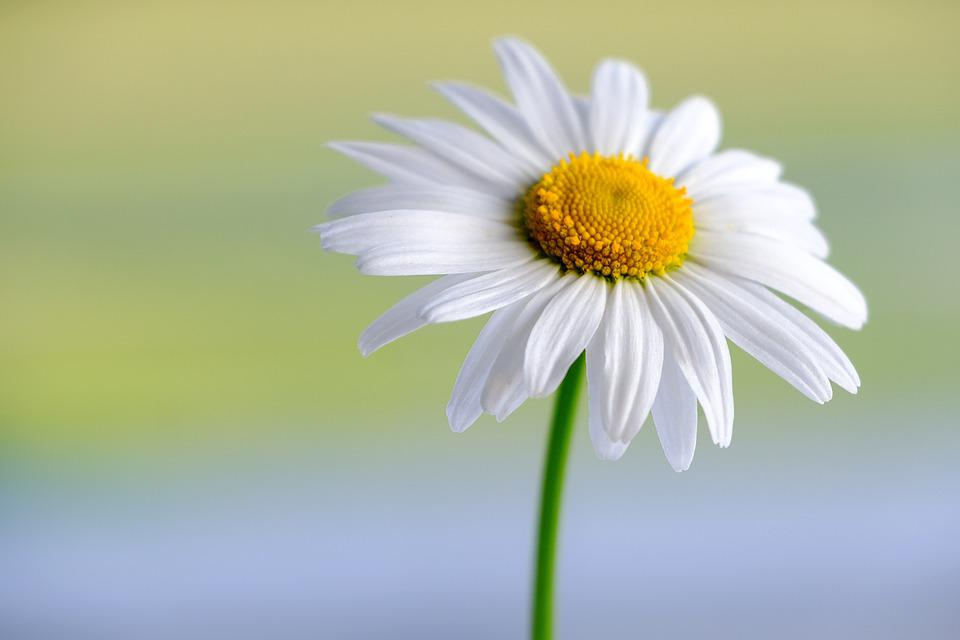 Marguerite, White, Flower, Daisy, Plant, Petals