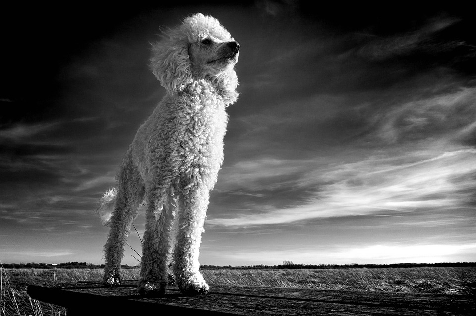 The Poodle, White, Dog, Pets, Expensive, Beautiful Dog