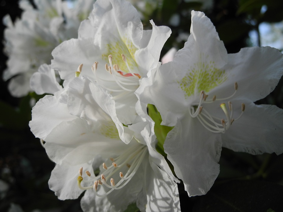 Blossom, Bloom, White, Plant