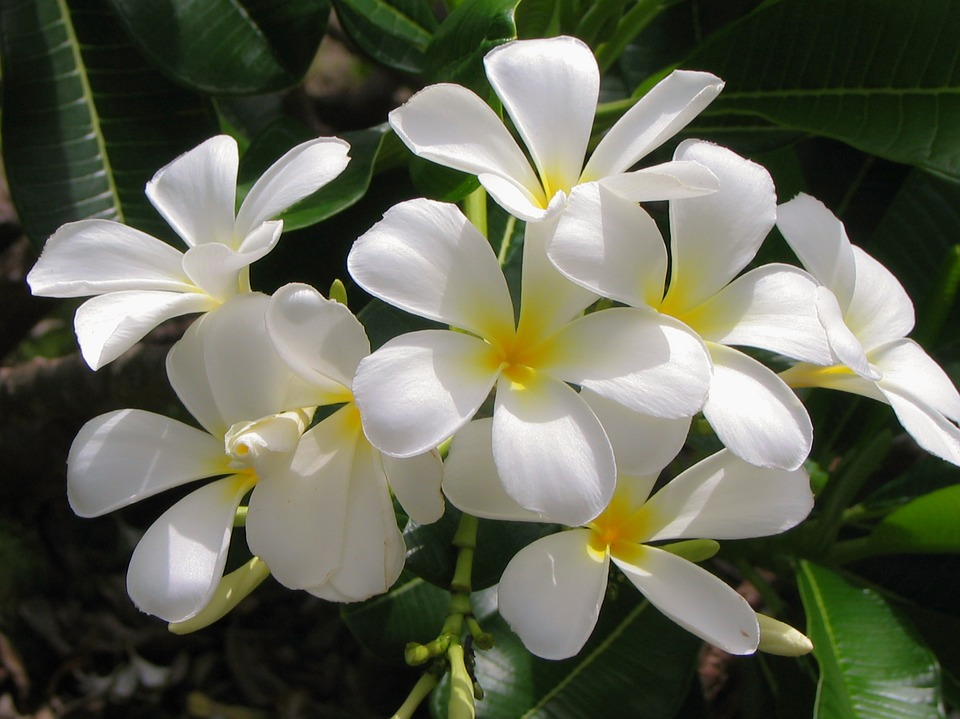 Free photo white plant jasmine tropical flower white flower max pixel jasmine flower white flower white plant tropical mightylinksfo