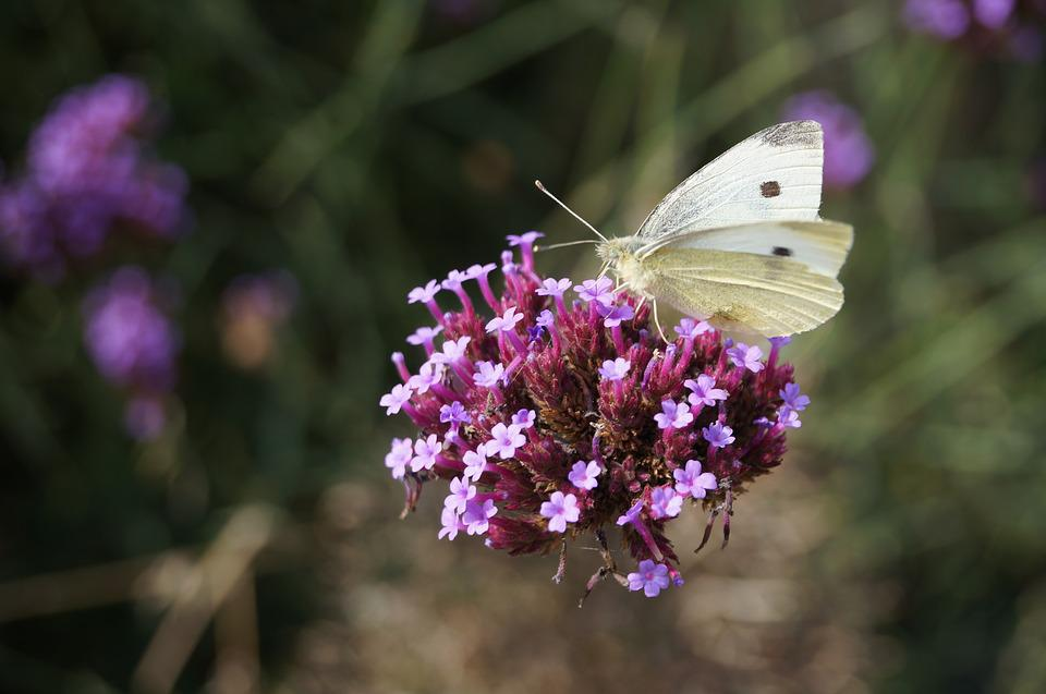 Butterfly, White, Insect, Nature, Plant, Summer