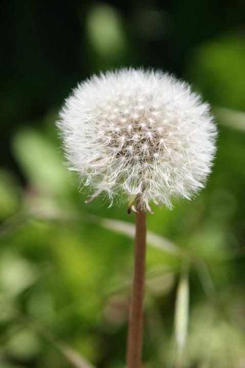 Dandelion, Flower, White, Nature, Spring, Summer, Plant