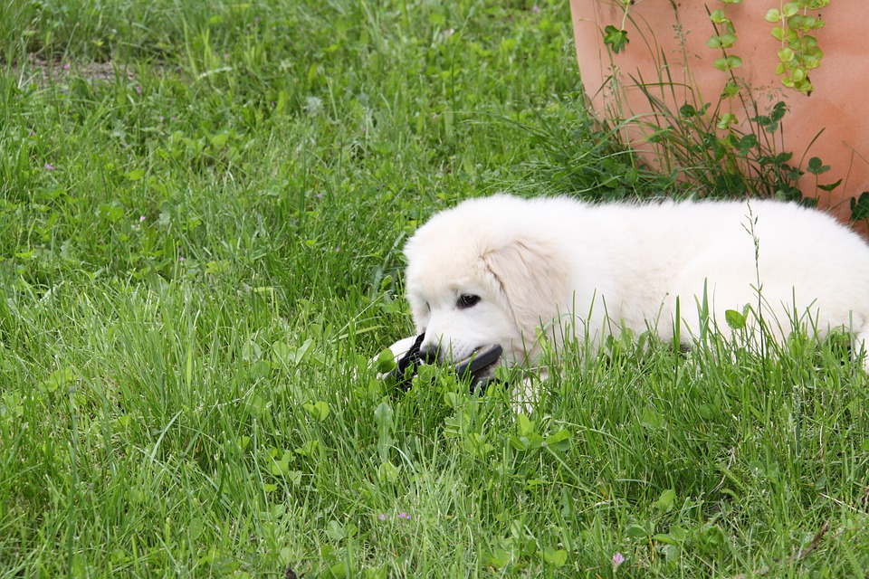 Dog, White, Berger, Play