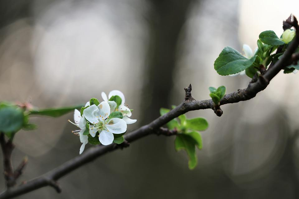 Free photo white plum flower blooming in october autumn tree max pixel plum flower blooming in october autumn white tree mightylinksfo