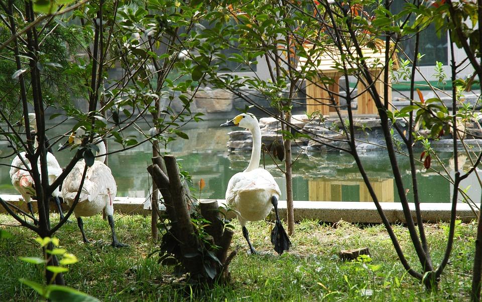 Swans, Bird, Waterfowl, White, Plumage, Pond, Water
