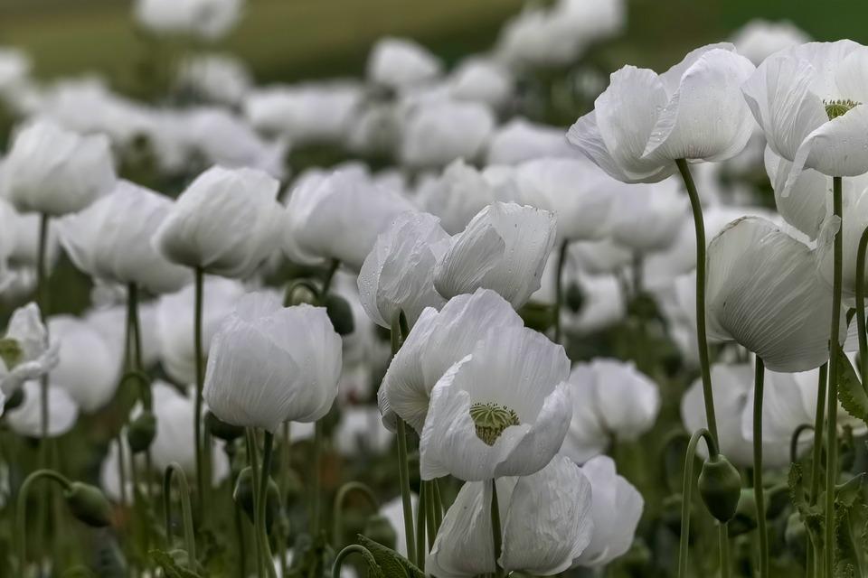 Poppy, Flowers, Garden, Field, White Poppy