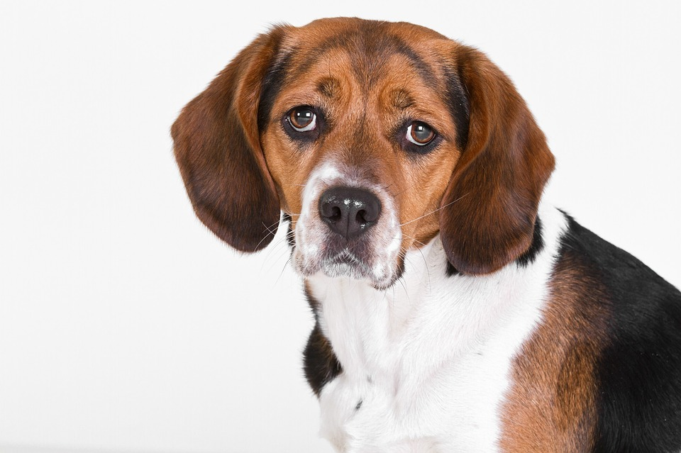 Dog, Beagle, Portrait, Cute, Floppy Ears, White
