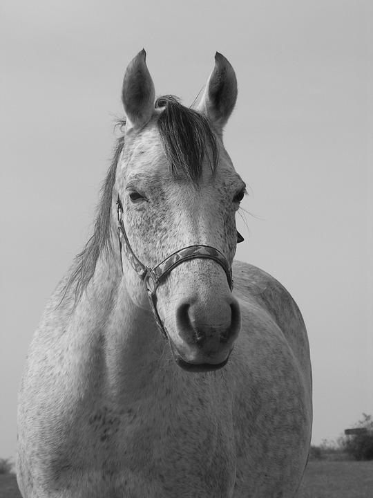 Horse, Portrait, Black And White, White, Head
