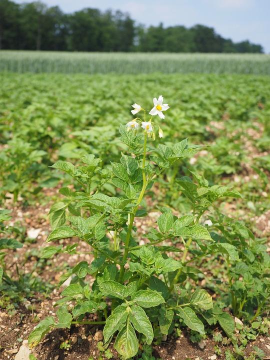 Potato Field, Potato Blossom, Blossom, Bloom, White