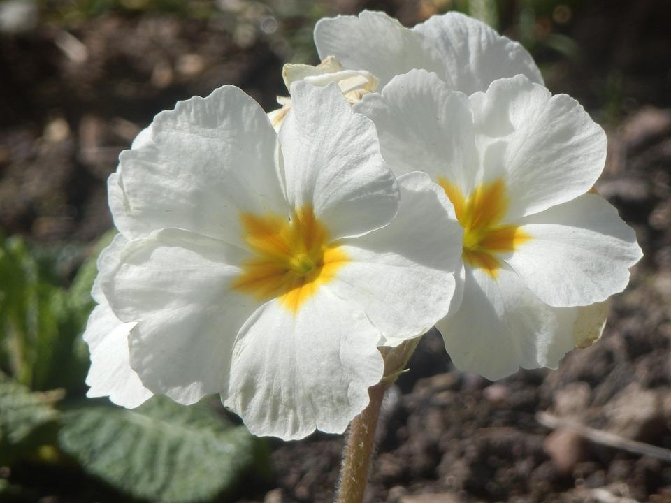 Free photo white pretty flowers max pixel pretty white flowers mightylinksfo