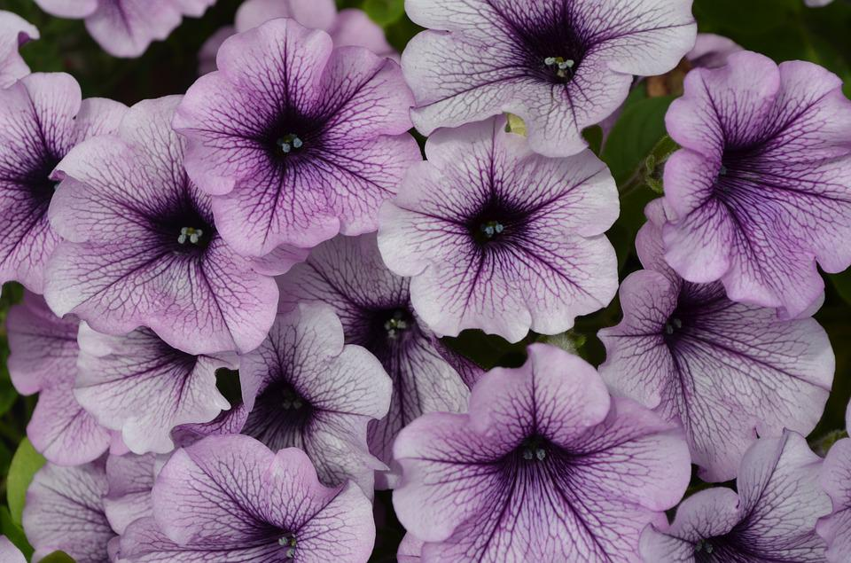 Flowers, Petunia, Purple Flower, White, Garden