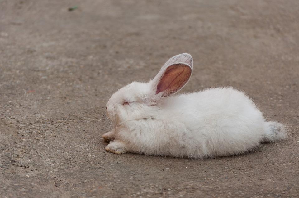 Rabbit, White, Sleep