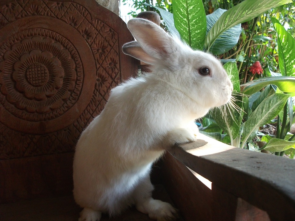 The Bunny House, Thailand, Native, White, Red Eyes