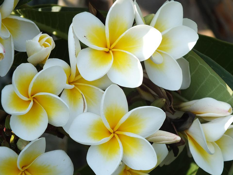 Free photo white red jasmine plumeria tropical plants flower max pixel plumeria red jasmine white flower tropical plants mightylinksfo