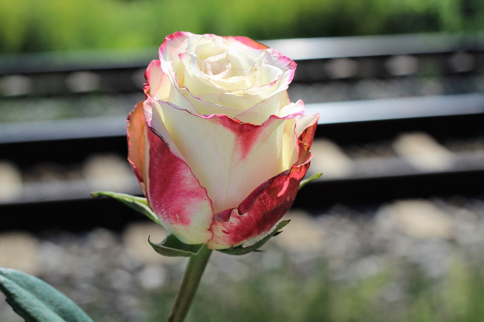 Stop Teenager Suicide, White Red Rose, Railway