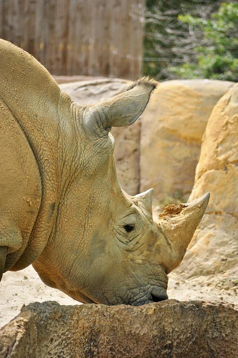 White Rhino, Rhino, Animal, Rhinoceros, Wild, Mammal