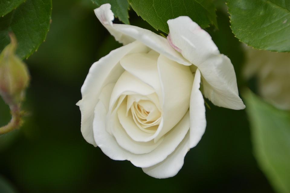Pink, Plant, Flower, Garden, White, Romance, Petals
