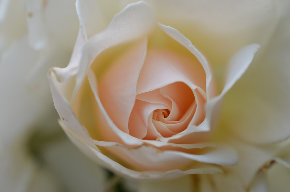 Rose, White Rose, Flower, Plant, White, Wedding