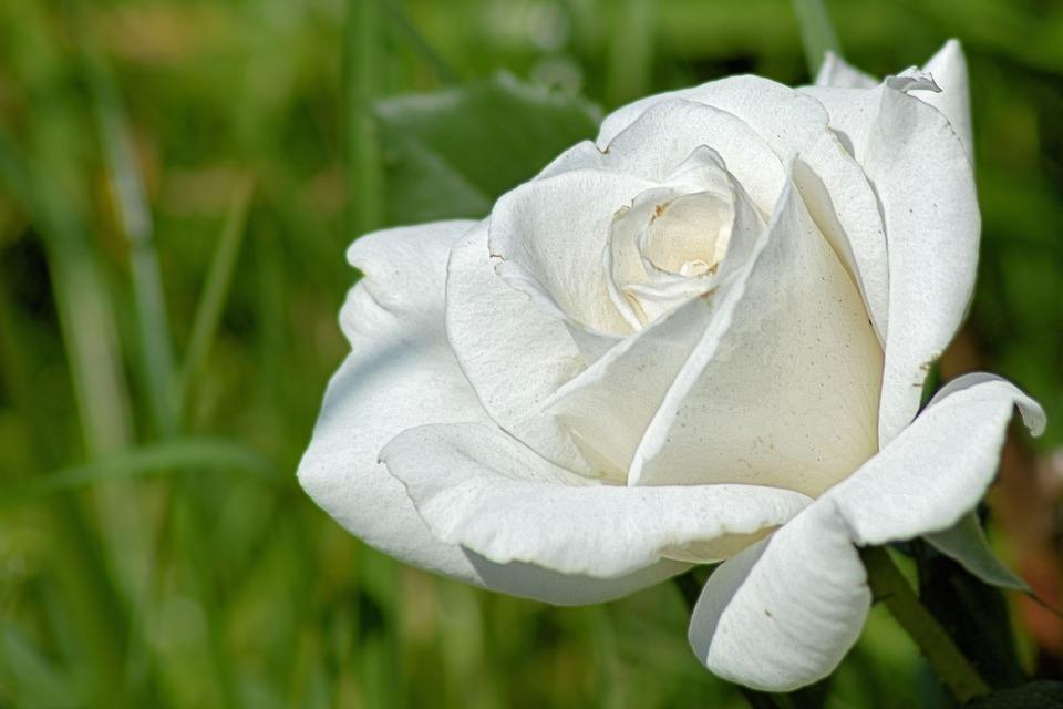 Free photo white rose roses flower rose bloom fragrance max pixel roses rose bloom white rose flower fragrance mightylinksfo