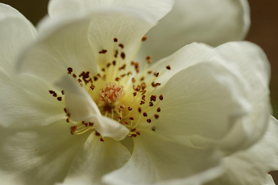 Rose, Rose Bloom, Stamens, Pistil, Petals, White