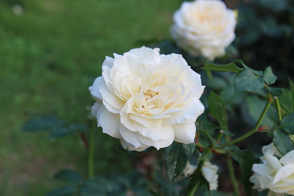 White Rose, Flowers, The White Rose, Cluster, Garden